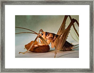 Cave Cricket Feeding On Almond 10 Framed Print by Douglas Barnett
