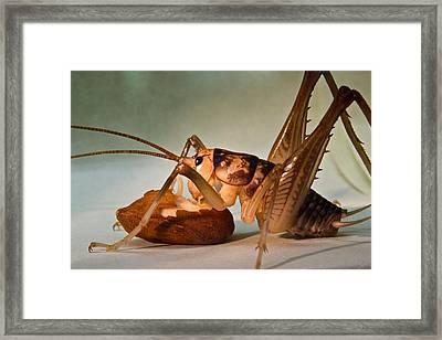 Cave Cricket Feeding On Almond Framed Print by Douglas Barnett