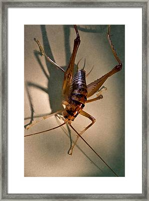 Cave Cricket In Shadow 2 Framed Print by Douglas Barnett