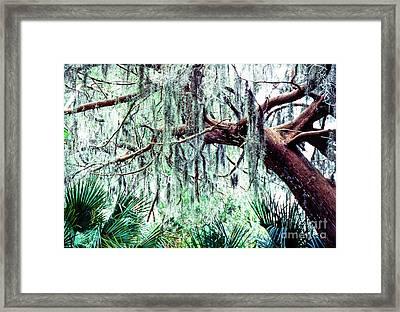 Cedar Draped In Spanish Moss Framed Print by Thomas R Fletcher