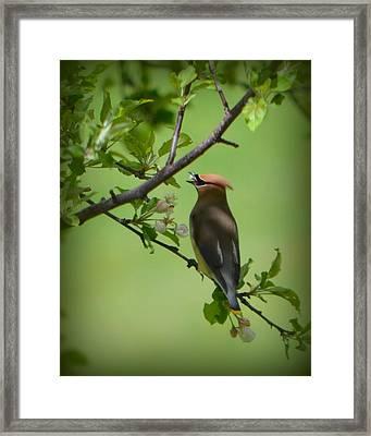 Cedar Wax Wing Framed Print by Carol Norman