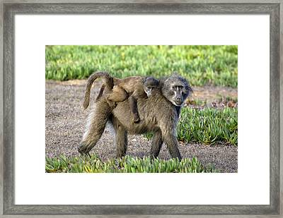 Chacma Baboon Mother And Young Framed Print by Peter Chadwick