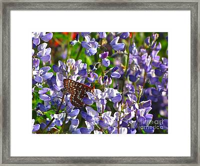 Chalcedon Checkerspot Amid Prairie Lupin Framed Print by Sean Griffin