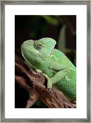Chameleon Framed Print by Andrea & Tim photography