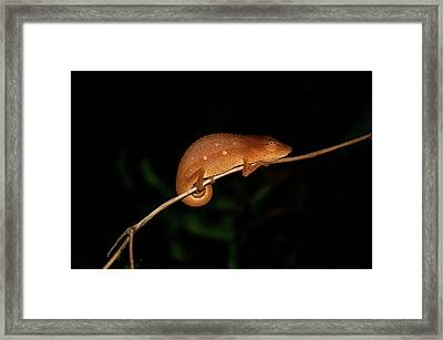 Chameleon At Night In Andasibe Framed Print by Tom McShane