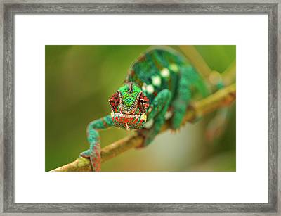 Chameleon Framed Print by Picture by Tambako the Jaguar