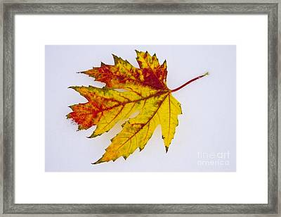 Changing Autumn Leaf In The Snow Framed Print by James BO  Insogna
