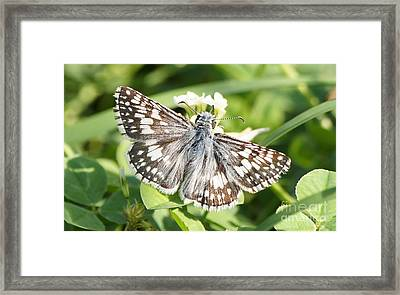 Checkered Skipper On Clover 1 Framed Print by Robert E Alter Reflections of Infinity