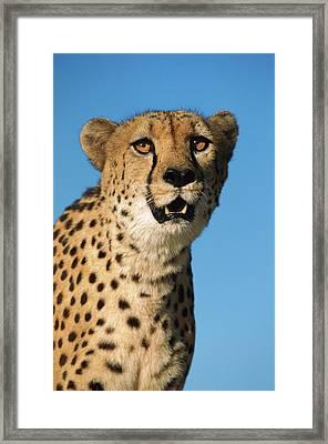 Cheetah Acinonyx Jubatus Portrait Framed Print by Ingo Arndt