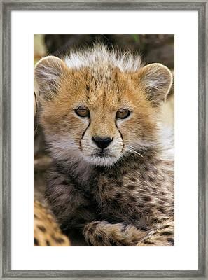 Cheetah Acinonyx Jubatus Ten To Twelve Framed Print by Suzi Eszterhas