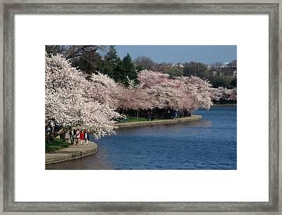 Cherry Blossom Festival, Jefferson Framed Print by Richard Nowitz