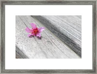 Cherry Blossom On Bench Framed Print by Lisa Phillips