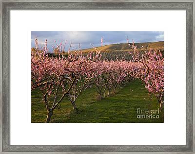 Cherry Blossom Pink Framed Print by Mike  Dawson