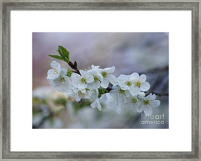 Cherry Blossoms 1 Framed Print by Robert E Alter Reflections of Infinity