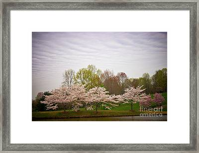 Cherry Blossoms At Meadowlark Framed Print by Susan Isakson