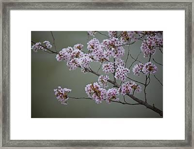 Cherry Tree Blossoms Hang Framed Print by Hannele Lahti