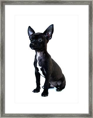 Chihuahua Puppy Framed Print by Hapa