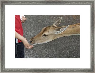 Child Feeding Deer Framed Print by Matthias Hauser
