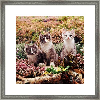 Chinchilla-cross Kittens Framed Print by Jane Burton