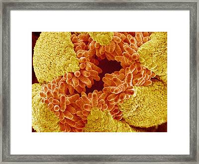 Chinese Balloon Flower Pistil, Sem Framed Print by Susumu Nishinaga