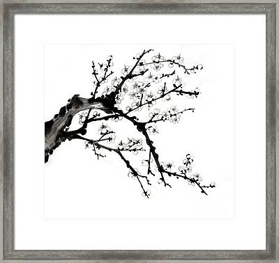 Chinese Ink Plum Blossom Painting Framed Print by Evelyn Sichrovsky