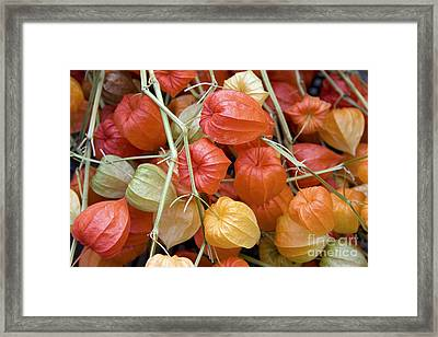 Chinese Lantern Flowers Framed Print by Jane Rix
