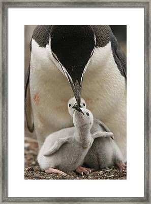 Chinstrap Penguin Feeding Two Chicks Framed Print by Maria Stenzel