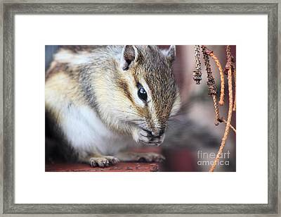 Chipmunk Eating A Nut Framed Print by Simon Bratt Photography LRPS