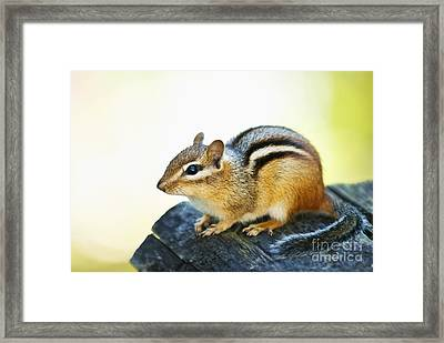 Chipmunk Framed Print by Elena Elisseeva