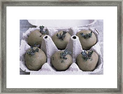 Chitted Potatoes In An Egg Box Framed Print by Maxine Adcock