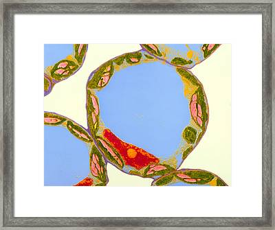 Chloroplasts In Cells Of Zinnia Framed Print by Dr Jeremy Burgess