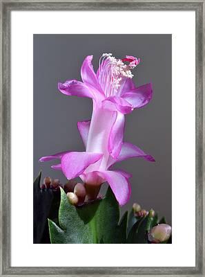 Christmas Cactus Framed Print by Terence Davis