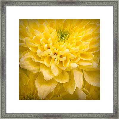 Chrysanthemum Flower Framed Print by Ian Barber