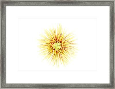Chrysanthemum Flower Framed Print by Nicholas Rigg