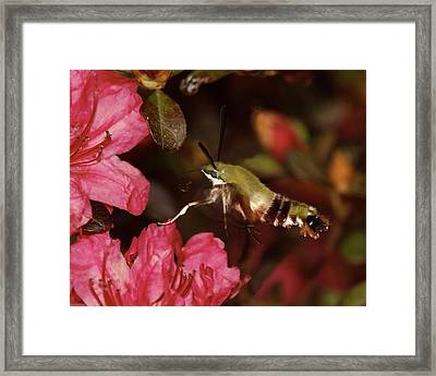 Clear Wing Hummingbird Moth 1 Framed Print by Lara Ellis