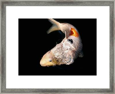 Clearly Rising Koi Framed Print by Don Mann