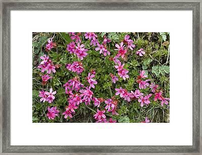 Cliff-primrose (douglasia Laevigata) Framed Print by Bob Gibbons