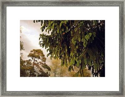 Close Detail Of A Norway Spruce Tree Framed Print by Raymond Gehman