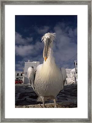 Close Portrait Of A White Pelican Framed Print by Paul Sutherland