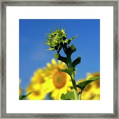Close Uo Of Sunflower Framed Print by Bernard Jaubert