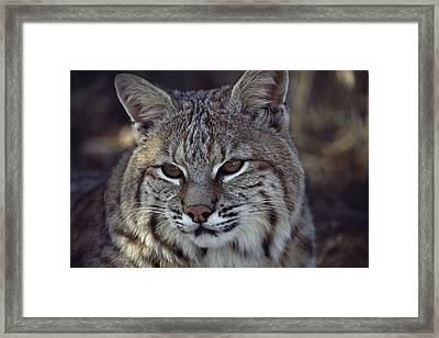 Close-up Of A Bobcat Framed Print by Dr. Maurice G. Hornocker