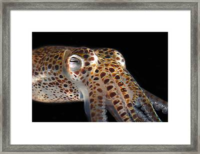 Close Up Of A Dwarf Cuttlefish, Sepiola Framed Print by Darlyne A. Murawski
