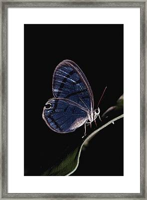 Close-up Of A Glassy-wing Butterfly Framed Print by Mattias Klum