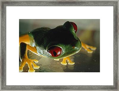 Close-up Of A Red-eyed Tree Frog Framed Print by Paul Zahl