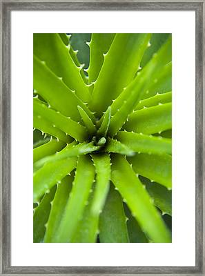 Close-up Of Aloe Plant, Atlantic Forest, Ilha Do Mel, Parana, Brazil Framed Print by Chris Hendrickson