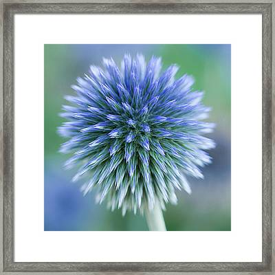 Close Up Of Blue Globe Thistle Framed Print by Kim Haddon Photography