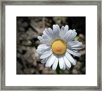 Close Up Of Daisy Framed Print by Sanders Photography