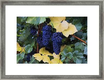 Close-up Of Ripe, Wine Grapes And Leaves Framed Print by Natural Selection Craig Tuttle