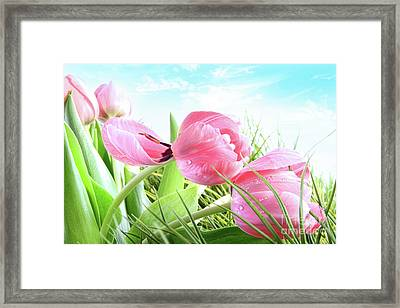 Close-up Of  Spring Tulips  Framed Print by Sandra Cunningham