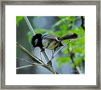 close up of Superb Fairy-wren Framed Print by Joanne Kocwin